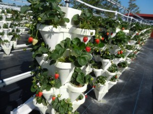 potted strawberry plants fresh fruit u-pick strawberry stacks st. Augustine Berry Farm hydroponic garden pick
