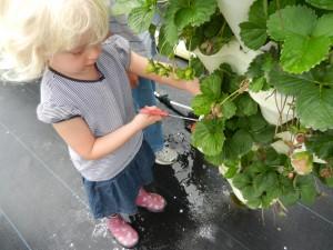 u-pick farm berry stacks st. augustine picky kids strawberry plants kids pick fruit garden fun