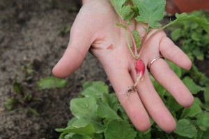 A baby radish fresh from our garden.