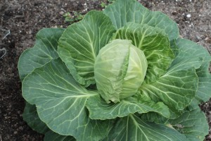 A HUGE, beautiful head of cabbage.